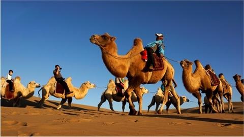 可爱双锋骆驼的简笔画