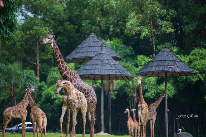 早餐后,前往旅游景区【长隆香江野生动物园】(游览约4小时)园区分为乘车游览区和步行游览区两大区域,乘景区小火车深入到野生动物自由出没的非洲原野、猛兽丛林(虎区、熊区、狮区、豹区)以及亚洲原野,成群的长颈鹿、斑马、羚羊悠然徜徉;在香江,保护动物的理念随处可见,图文并茂的动物解说牌、内容丰富的科普长廊、生动有趣的动物学堂、充满温情的儿童动物王国;拥有世界上最可爱的动物树熊考拉、5只中国大熊猫、洪都拉斯食蚁兽等世界各国国宝在内的460余种20000余只珍奇动物,一定能让您叹为观止。