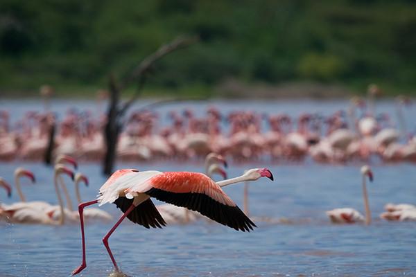 野生動物大遷徙--四大保護區+兩大湖泊+保證入住新樹頂酒店--肯尼亞純玩12天跟團游
