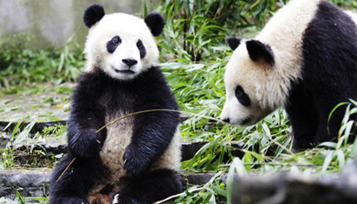 壁纸 大熊猫 动物 700_400