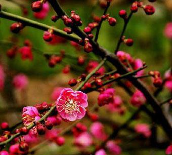 """超山五代时便是观梅胜地,抗战前,绕山20余里遍植梅树,故谓""""十里梅花"""