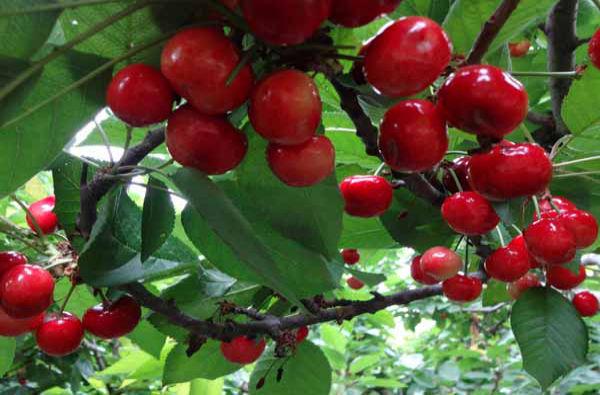 壮壮樱桃采摘园