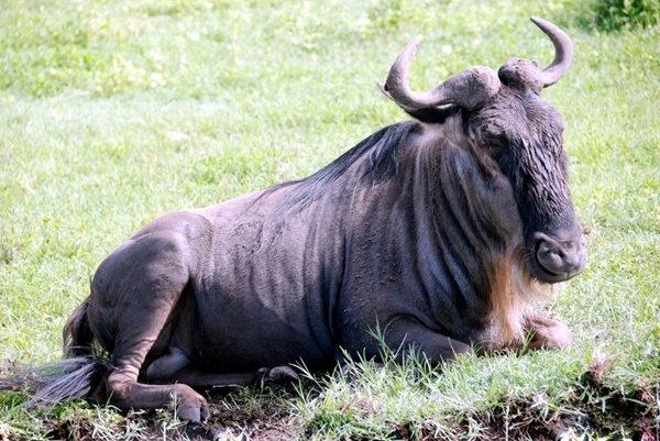 """斑马身上黑白相间的条纹是斑马*好的保护色,在集群逃亡时往往使追击者眼花缭乱,同时也是彼此之间区别身份的好凭证。它们喜欢成群活动,当成千上万的斑马聚集在一起时,没有两只相同条纹的斑马。斑马没有固定的栖息地,热带疏林草原是它们生活的好选择。它们主要吃各种草类,每天边游荡边觅食。斑马的听觉和嗅觉非常好,跑得也快。斑马的胆子非常小,稍有动静就会成群大逃亡。  犀牛体型庞大、长相怪异,被誉为""""陆地坦克""""、""""铠甲战士"""",是世界第二大陆生野生动物。为了引进犀牛,云南野生动"""