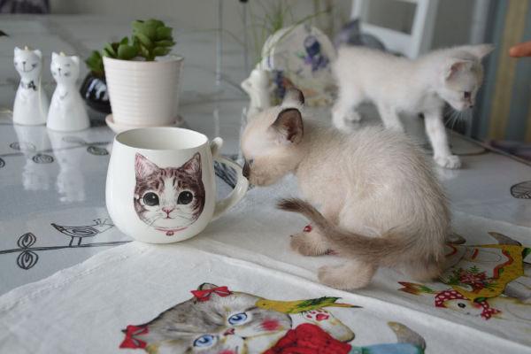 消费提醒:去猫迷咖啡的N大理由 理由1 很独特吸引人的地方,竟然有个猫主题咖啡馆。走上去,一路植物。 理由2 透过花房可以看见好大的玻璃墙,里面三三两两的妹子,到处是猫。 理由3 地铁文泽路可以到,C出口直走600米交通便利又方便,来一次和猫的约会吧。 猫迷咖啡详情 商家介绍猫迷咖啡 地铁文泽路可以到,C出口直走600米交通便利又方便,来一次和猫的约会吧。 商家介绍猫迷咖啡 伴随着小院独有浓郁的咖啡香,它们会陪你看书,看你玩电脑,有时也会小小的妨碍你谈天说地,更会爬到你的腿上,做各种可爱的小姿势求关注,或