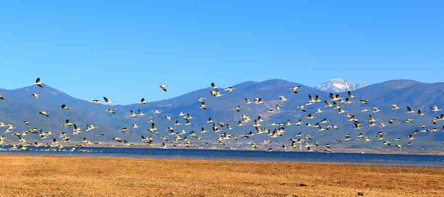 骑马路线由吉祥草海出发,经过观鹤山庄终点到达拉市海全景较佳观景点