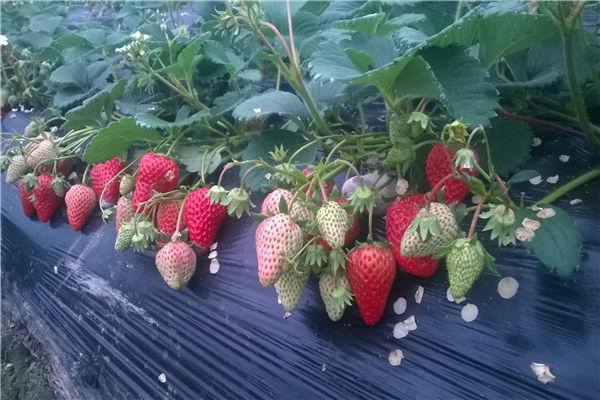 长丰草莓采摘园