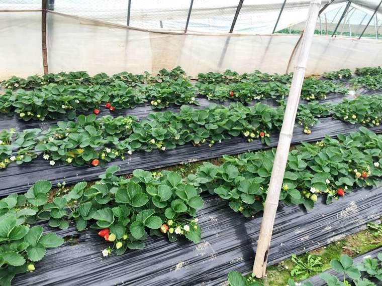 石榴红村草莓采摘门票 石榴红村草莓采摘门票多少钱 武汉石榴红村草