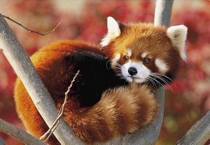 可爱的动物——浣熊