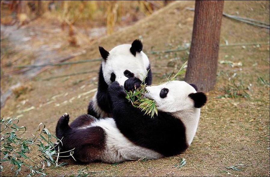 【成都2日游】自选都江堰青城熊猫主题酒店,青城山-都江堰风景区