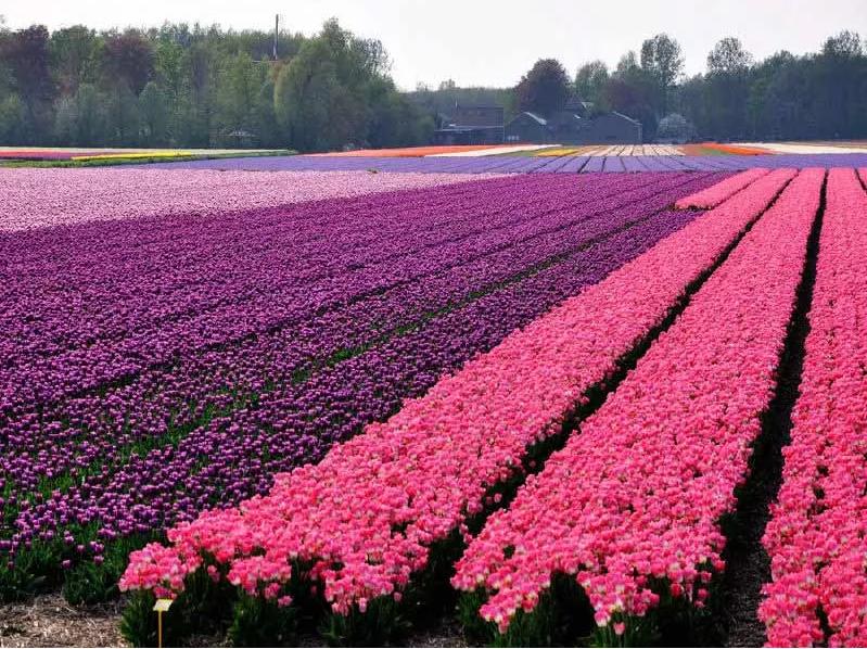 荷兰名贵品种郁金香